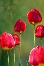 Preview iPhone wallpaper Red tulips and red leaves, dew