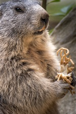 Preview iPhone wallpaper Rodent marmot close-up