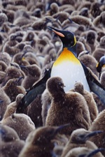 Preview iPhone wallpaper Royal penguins, kindergarten