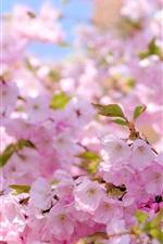 iPhone обои Сакура, розовые цветы, весна, цветение
