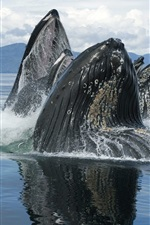 Preview iPhone wallpaper Sea animals, whales out of water