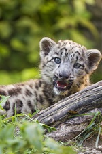 Preview iPhone wallpaper Snow leopard cub yawn