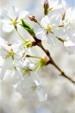 Primavera, flores brancas florescem, galhos