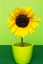 Sunflower, room, green