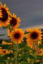 Preview iPhone wallpaper Sunflowers field, summer, dusk