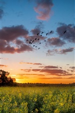 Preview iPhone wallpaper Sunset, rape field, trees, sky, clouds, birds