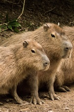 Preview iPhone wallpaper Three cute capybaras