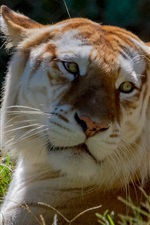 Preview iPhone wallpaper Tiger lying in the grass, face, yellow eyes, look