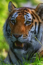 Preview iPhone wallpaper Tiger stay in the grass, face