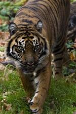 Tiger walk, predator, face, grass