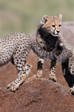 Preview iPhone wallpaper Two cheetahs cubs, stone