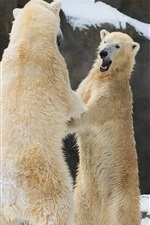 Two polar bears standing to embrace together