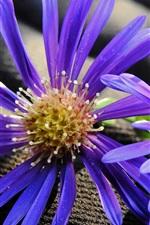 Two purple flowers, petals, pistil