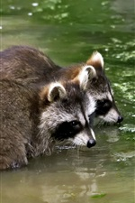 Preview iPhone wallpaper Two raccoons in pond