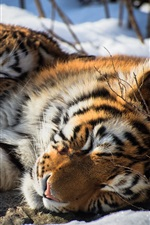 Two tigers sleep in snow, Siberian