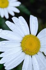 Margaridas brancas flores, gotas de água