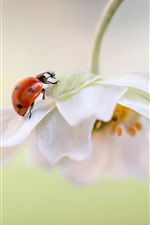 Preview iPhone wallpaper White flower petals, ladybug