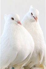 Preview iPhone wallpaper White pigeons, one pair birds