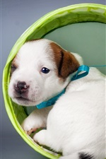 Preview iPhone wallpaper White puppy look back