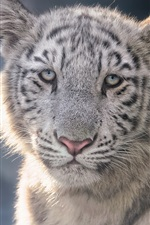Preview iPhone wallpaper White tiger cub, face