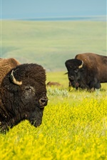 Preview iPhone wallpaper Wildlife, buffalo, rape field
