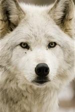 Wolf, forest, predator
