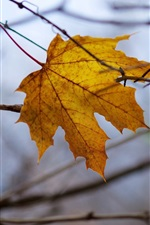 Yellow leaf, twigs, autumn, dusk