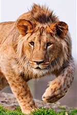Preview iPhone wallpaper Young lion, mane, predator, paws
