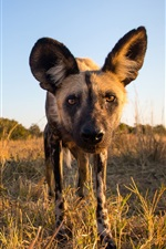 Preview iPhone wallpaper African wild dog