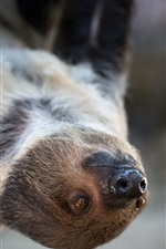Animal sloth front view
