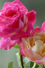 Preview iPhone wallpaper Beautiful pink rose macro photography