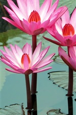 Preview iPhone wallpaper Beautiful pink water lilies, pond