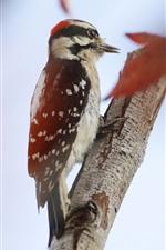 Preview iPhone wallpaper Bird, woodpecker, tree