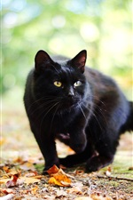 Preview iPhone wallpaper Black cat in autumn, leaves, bokeh