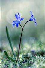 Preview iPhone wallpaper Blue flowers, grass, spring