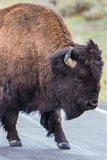 Preview iPhone wallpaper Buffalo in the road, horns
