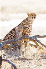 Cheetahs, cubs, grass, wildlife