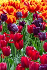Preview iPhone wallpaper Colorful tulips, flowers field