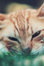 Preview iPhone wallpaper Cute cat want to sleep, face, grass