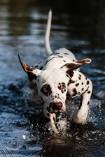 Preview iPhone wallpaper Cute spotted dog in the water