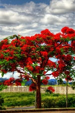 Delonix tree flowering, red flowers, clouds, road