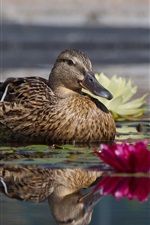 Duck, lake, water lilies