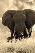 Preview iPhone wallpaper Elephant photography, grass, nature