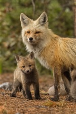 Preview iPhone wallpaper Fox family, mother and cubs