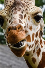 Giraffe photography, head, face