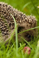 Preview iPhone wallpaper Hedgehog close-up, grass