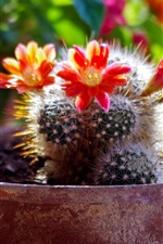 Preview iPhone wallpaper Home plants, cactus red flowers bloom