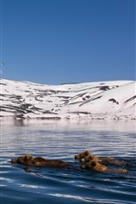Preview iPhone wallpaper Kamchatka, mountains, snow, lake, bears swimming in water