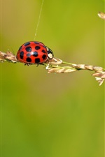 Preview iPhone wallpaper Ladybug, insect, grass