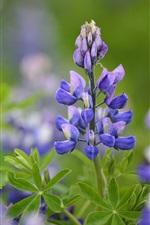 Lavender field, blue flowers, leaves